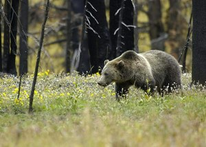 Yellowstone Griz small