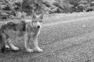 Against all odds, wolf OR7 may have found a mate