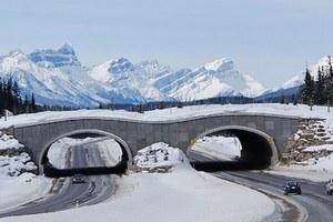Bear hair study in Banff proves animal highway crossings work