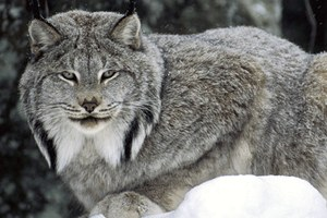 Threatened lynx are bycatch in Idaho trapping resurgence
