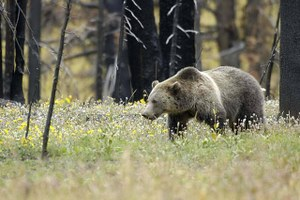 Closure of federal sheep facility would be a victory for grizzlies