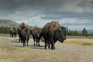 A bison boost for Native economies