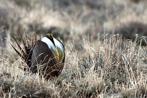 ESA changes could help protect sage grouse on private land