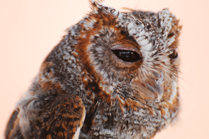 Owls react to megafire and climate trends in central Colorado
