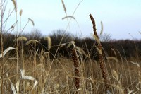 Discovery: Good ol' tallgrass was formed by good ol' bacteria