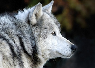 gray wolves should be removed from When the gray wolf was eradicated from yellowstone national park in the 1920s, more was lost than just the noble and fascinating predator the park's entire ecosystem changed now, nearly a dozen years since the wolves returned, the recovery of that system to its natural balance is well underway .