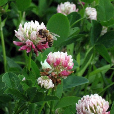Honeybee on clover.