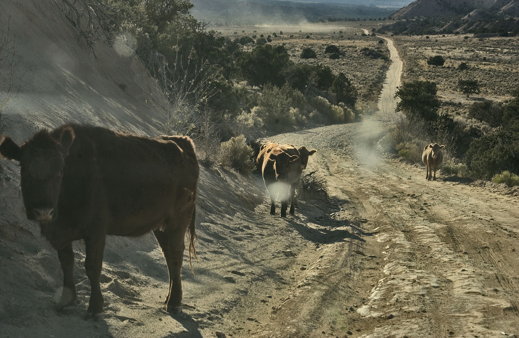 Cows in the vicinity of Grand Staircase Escalante