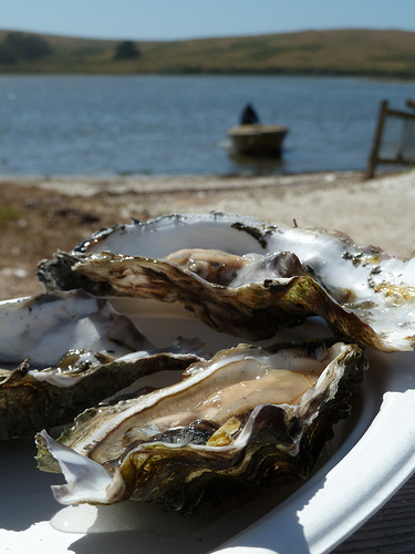 oyster in point reyes 1