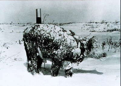 Frozen steer