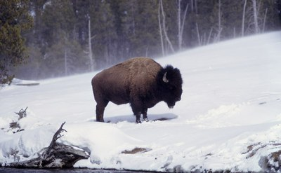 Because of brucellosis concerns, Yellowstone's bison are prevented from migrating out of the park during winter. Photo courtesy of the National Park Service.