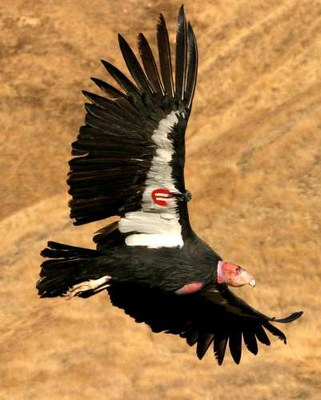 California_condor_FWS_photo.jpg