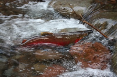 A spawning coho salmon navigates a restored side channel. Photo courtesy of the Freshwater Trust.