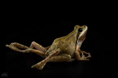 Malformed frog