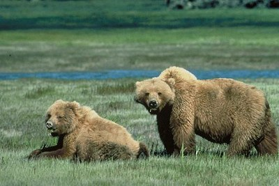 Grizzly_bears_animal_wildlife1.jpg
