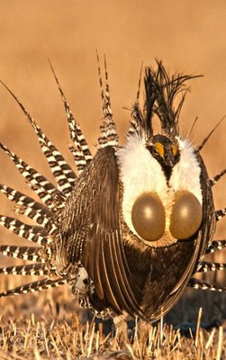 A male Gunnison Sage Grouse displaying.