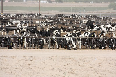 New Mexico dairy cows