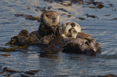 Sea_Otters_Enhydra_lutris_the_Morro_Bay_harbor.jpg
