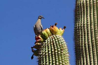 Zenaida_asiatica_Phoenix_Arizona_USA_cactus8.jpg