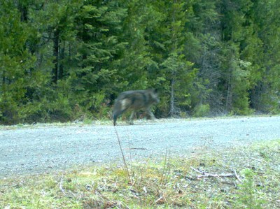 blackwolf1.jpg