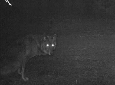 blackwolf2.jpg