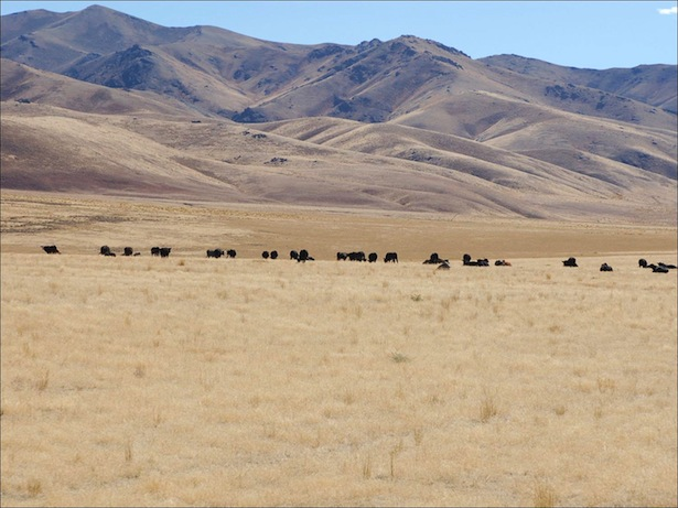 Cheatgrass in Nevada