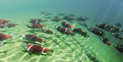 sockeye_salmon_NOAA.jpeg