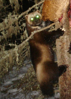 Wallowa wolverine