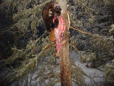 Wallowa wolverine2