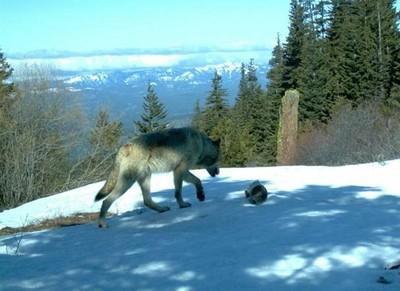 Teanaway wolf