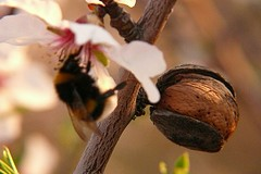 Pollinating almonds