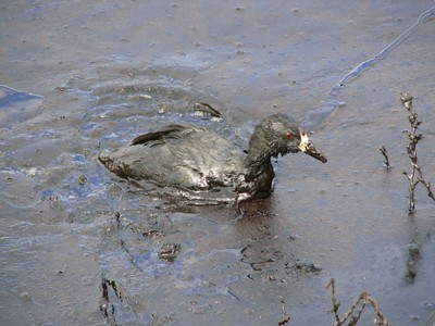 Oil covered bird