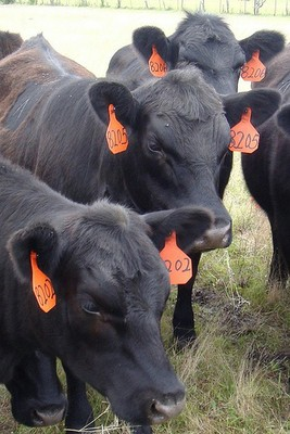 Cows with ear tags