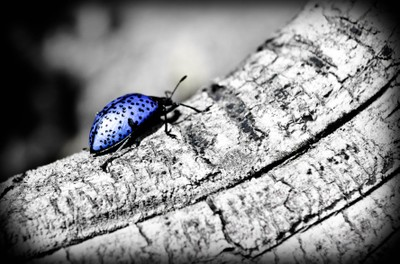 Fungus Beetle title pic