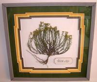 Framed Gutierrezia elegans