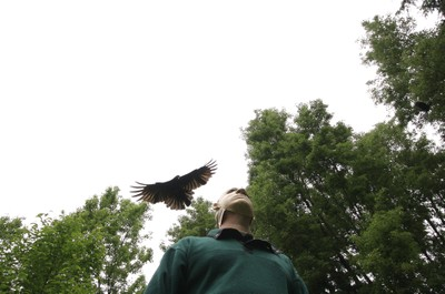 Crow diving at researcher in Seattle.