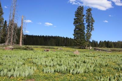Grand mesa meadow