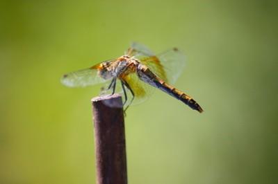 Winged Avenger