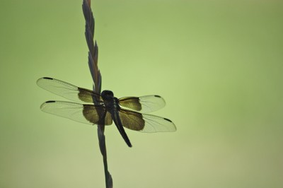papery thin wings