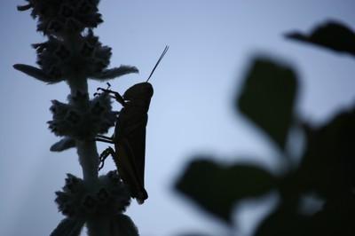 grasshopper dominion