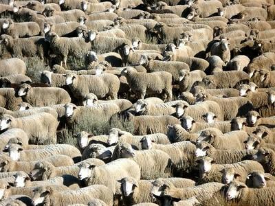 Idaho sheep