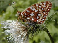Oregon silverspot butterfly crop