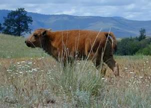 Bison calf