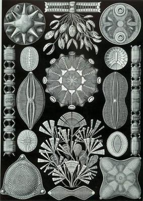 Haekel Diatoms