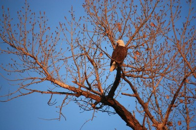 Eagle in a Cottonwood