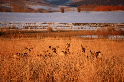 Mule Deer Survival
