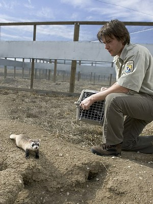 ferret in captivity
