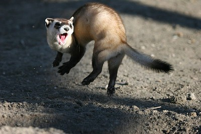 ferret jumping