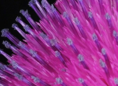 muskthistle_blog_zoom.jpg