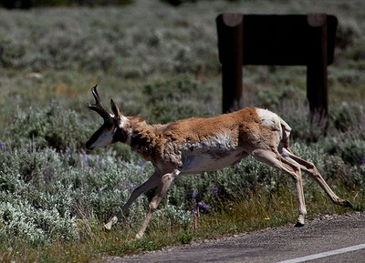 pronghorn on road
